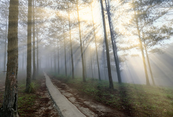 Sun rays shining down through the pine forest road foggy morning, shimmering ray beam shines beneath fanciful to greet the new day in the suburbs on the plateau