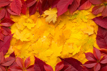 Autumn frame of red and Yellow fallen maple dead leaves