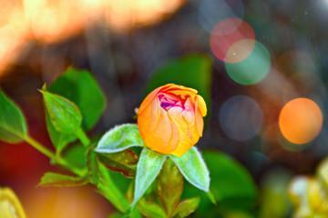 Colorful new rose flower taken in summer