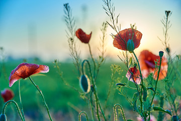 Photo sur Toile Poppy Red poppies wildflowers in the field in the morning