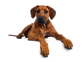 Pretty Rhodesian Ridgeback pup laying down. Looking at lens with brown eyes. Isolated on white background.  Paws over edge. Wall mural