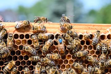 blue mark queen Bee working Honey bees beehive Wax Frame beekeeping