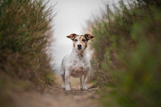 Jack russel terrier in a wild landascape with tall grass