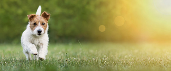 Poster Chien Active happy pet dog puppy running in the grass in summer, web banner with copy space