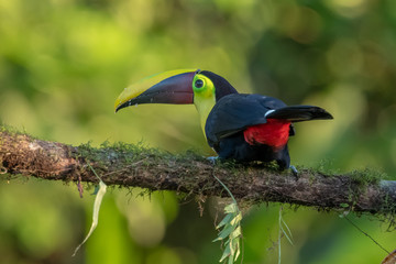 Photo sur Aluminium Toucan Keel-billed Toucan - Ramphastos sulfuratus, large colorful toucan from Costa Rica forest with very colored beak.