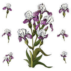 Set of bouquet  and single buds of iris flowers. Hand drawn ink and colored sketch. Collection of color  elements isolated on white background