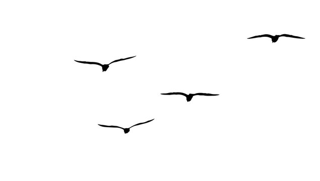 flock of migratory seagulls, silhouette
