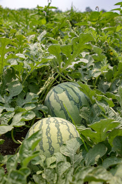 Watermelons grow on a field. Fresh water-melons under leaves on field. Harvest of water melons, Thailand.