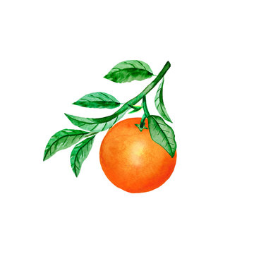 Isolated orange on a branch. Watercolor illustration of citrus trees with leaves for the design of wedding greetings and cards.
