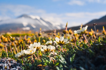 Wallpaper norway landscape nature of the mountains of Spitsbergen Longyearbyen Svalbard   on a flowers polar day with arctic summer in the sunset  Fototapete