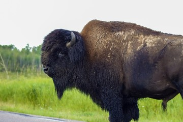 Bison Posing For A Picture