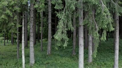Wall Mural - Summer Coniferous Forest Scenery. Alpine Region Forestry.