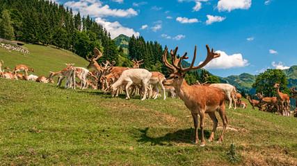Big red deer herd at Aurach near Kitzbühel, Tyrol, Austria