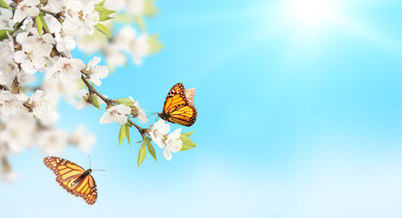 Wall Mural - Flower of cherry and monarch butterflies on blue sky sunny background