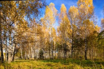 Printed roller blinds Panorama Photos Birch forest on a clear autumn day.
