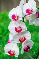 Tuinposter Orchidee White orchid with a pink center on a green background. Many orchids on one branch