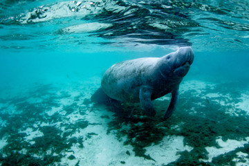 Beautiful manatee enjoying the warm water from the springs in Kings Bay, Crystal River, Florida.