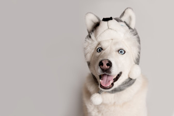 Funny siberian husky dog is in warm cap with animal ear flaps. Portrait of cute and beautiful dog in costume sitting among white background. Costume, party concept. Split personality. Copy space