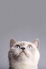 Closeup photo of british short hair cat