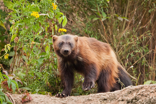 Wary, looking at you. beautiful wolverine with shiny fur on a rock on a background of green thickets of grass,