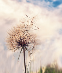 Obraz Huge fluffy white dandelion against the sky and clouds at sunset. - fototapety do salonu