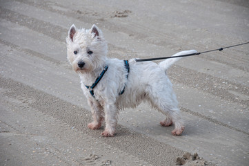 West Highland White terrier is having fun on the beach