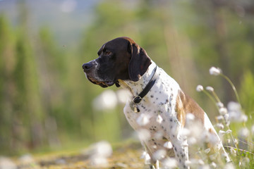 Dog english pointer