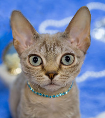 Eastern Shorthair cat cream color.  This breed stands out for its graceful silhouette and grace. The head is not very large, elongated, muzzle forms a triangle. Large compared with the head extended a