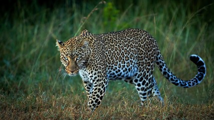 leopard is preparing to hunt