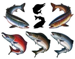 Big set trout atlantic salmon isolated realistic illustration. Wild river fish. Chinook Salmon, Salmon, Snout fish big.