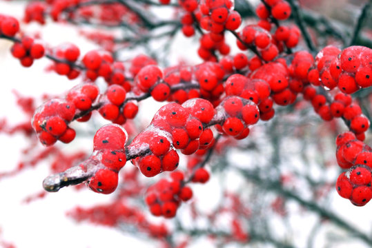 Horizontal closeup of the bright red berries of 'Winter Red' winterberry holly (Ilex verticillata 'Winter Red') against a snowy background