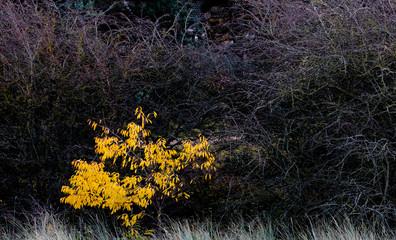 Yellow Shrub in Woodland