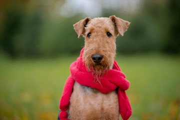 Dog breed Airedale Terrier autumn in a scarf on the background of trees