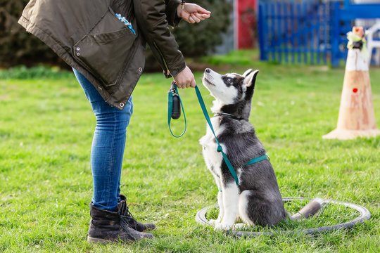 woman trains with a young husky on a dog training field
