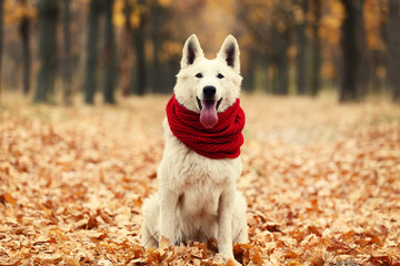 White swiss shepherd dog with red scarf in autumn park Wall mural