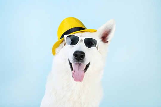 Swiss shepherd dog with sunglasses and hat on blue background