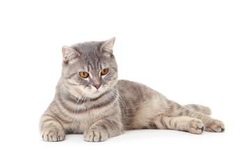 Beautiful cat lying on white background