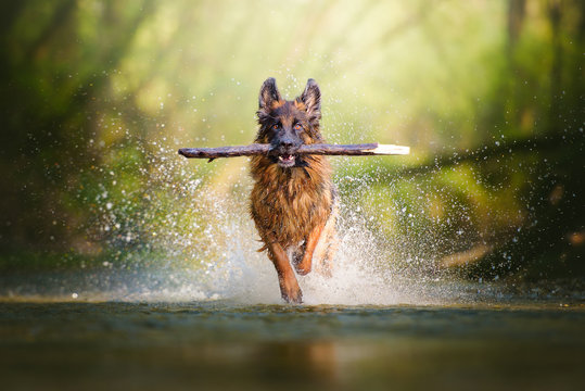 German shepherd dog with a big branch on her mouth running on the water of a river