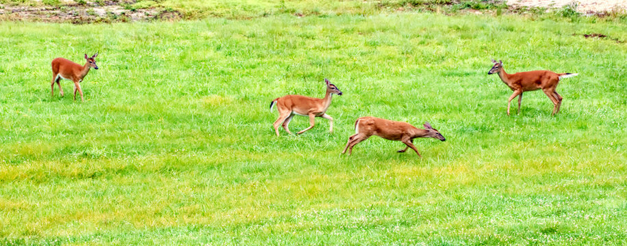 Whitetail does playing in a meadow.