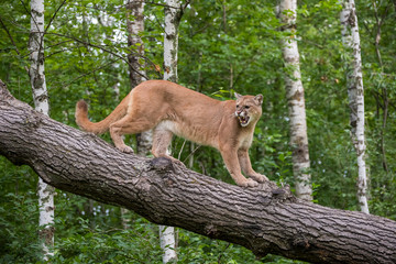 Tuinposter Puma Snarling Mountain Lion climbing Down a Leaning Tree