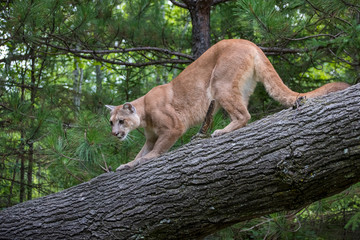 Mountain Lion Crouched on Descent down a Leaning Tree