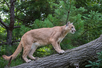 Mountain Lion ascending a Leaning Tree