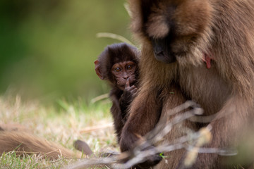 """The gelada, sometimes called the bleeding-heart monkey or the gelada """"baboon"""", is a species of Old World monkey found only in the Ethiopian Highlands, with large populations in the Semien Mountains."""