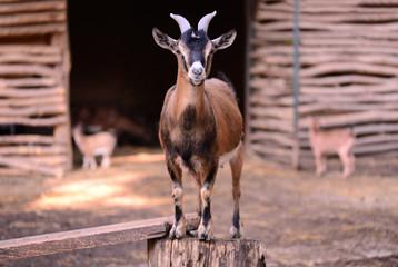 kid goat animal