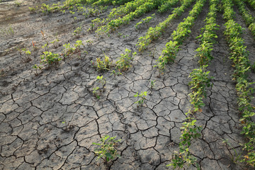 Agriculture, damaged soybean plant in field
