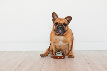 Foto auf AluDibond Französisch bulldog cute brown french bulldog sitting on the floor. Using old vintage camera, Pets indoors, photography concept