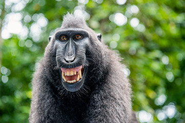 Tuinposter Aap Celebes crested macaque with open mouth. Close up portrait on the green natural background. Crested black macaque, Sulawesi crested macaque, or black ape. Natural habitat. Sulawesi Island. Indonesia