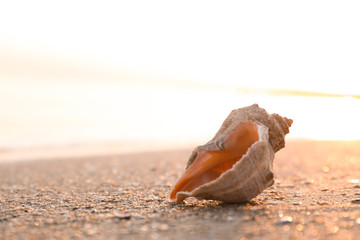 Sunlit sandy beach with beautiful seashell on summer day. Space for text