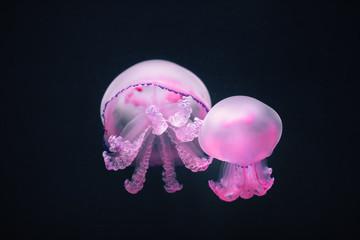 Fototapete - two purple jellyfish rhizostoma pulmo underwater