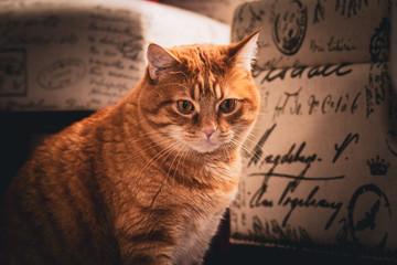 Focused Copper-Eyed Ginger Tabby Cat